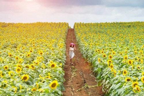 Mùa hoa hướng dương tuyệt đẹp tại Nghệ An